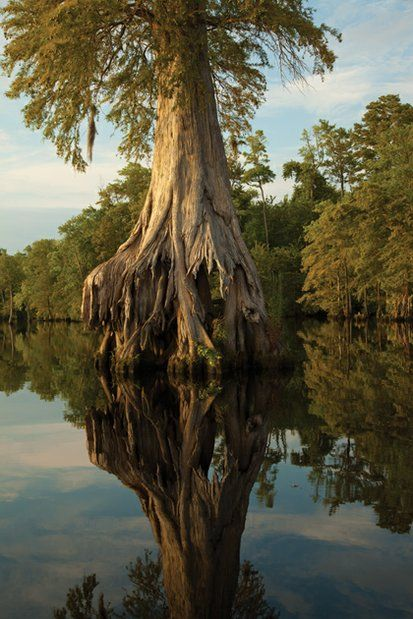 Bald Cypress ~ Lake Drummond ~ Great Dismal Swamp National Wildlife Refuge ~ Virginia