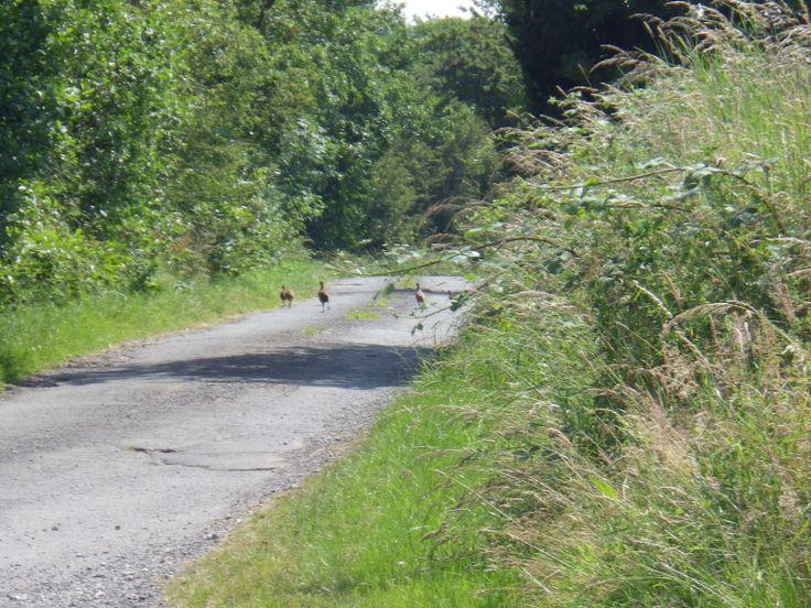 Birds, pheasants