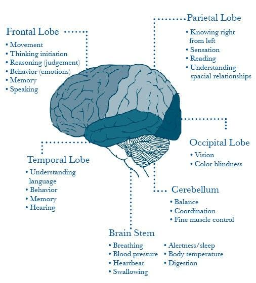 Brain Areas: frontal, parietal, temporal, occipital, cerebellum, stem
