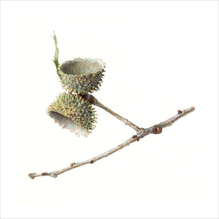 Acorn Folio illustration agency, London, UK | Carolyn Jenkins - Watercolour ∙ Painterly ∙ Botanical ∙ Horticultural ∙ Photorealism - Illustrator