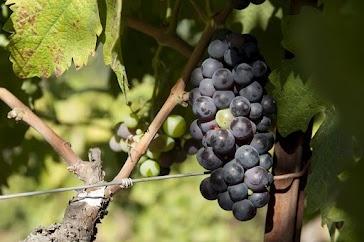 Napa Valley Grape Cluster near Aurora Park, Calistoga