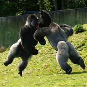 Fighting Gorillas.  Awesome shot, NOT what I want to be in the middle of!