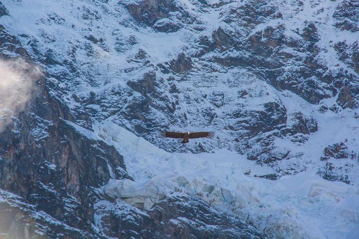 Condor flying in front of Mt Salkantay @experiencemlp
