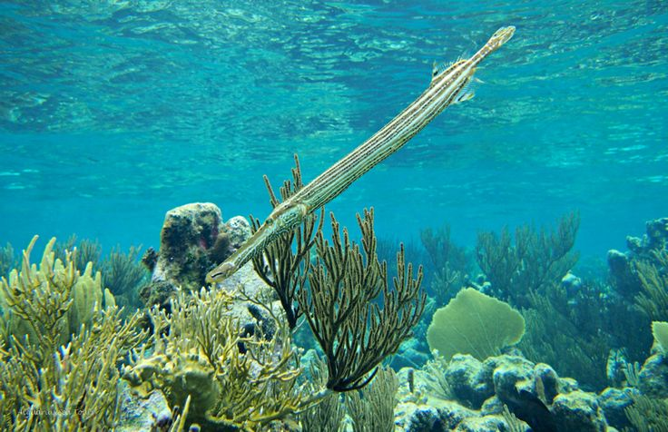 The trumpet fish snorkel caymanislands grand cayman for Fishing grand cayman