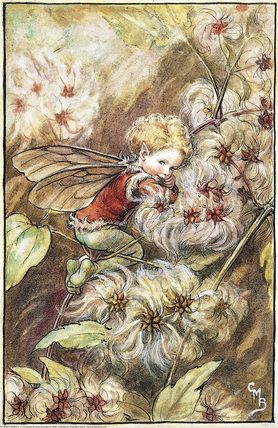Illustration for the Old-Man's-Beard Fairy for Flower Fairies of the Winter.  A young boy fairy, facing right, cuddles down amongst the fluffy seeds.    Author / Illustrator  Cicely Mary Barker