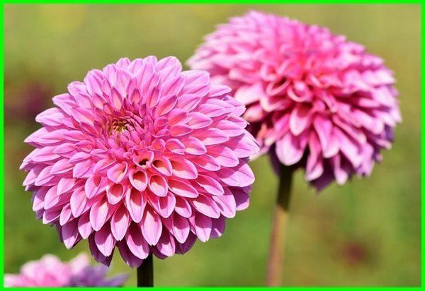 Nama Bunga Foto Foto Makna Dan Artinya Lengkap Bunga Bunga Iris Gladioli