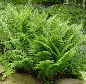 Athyrium filix-femina ssp. asplenioides (Lady fern) - Zones 5-10, Height 18-30 in. Also known as Athyrium asplenioides. Handsome crowns of feathery fronds are typical of this genus. Delicate and lacy with arching fronds and dark red stems at maturity. Strong-growing and dependable, the Lady Ferns are great garden plants. A breathtaking flush of new fronds appears in the spring, with new leaves appearing throughout the season for a continuously fresh look.