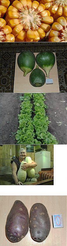 Как вырастить на огороде два урожая за один сезон? | Растения