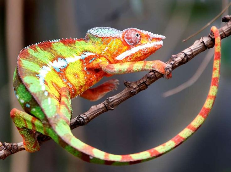 The zoo's latest acquisition, a panther chameleon, climbs on the branch of a small tree in its enclo... - Michael Probst/AP Photo