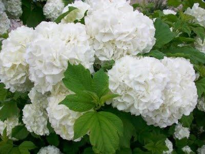 Snowball plant ☺