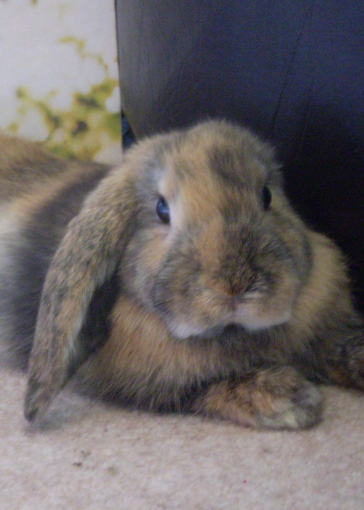 Twiglet, French Lop Harlequin, Bunny Rabbit