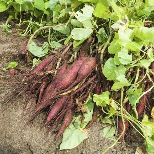 Patate douce: planter et cultiver les patates douces