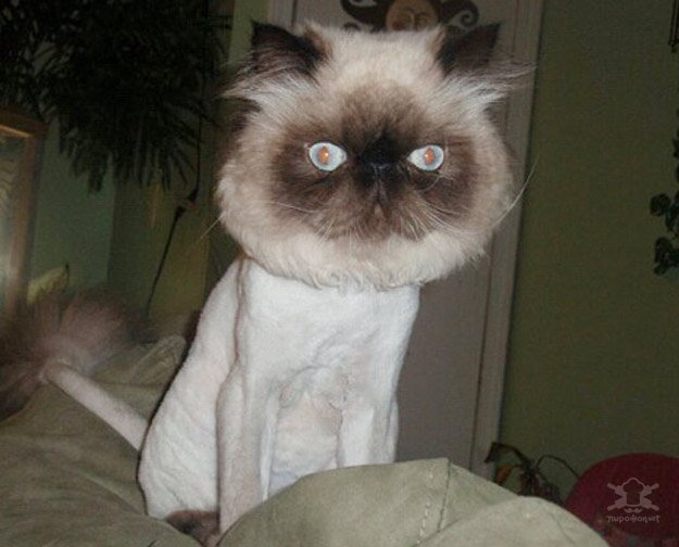 Shaved Cat Photo 5