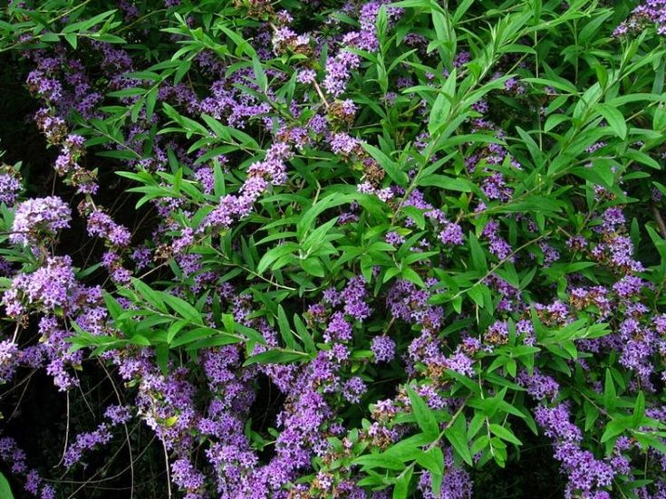 BioLib - Obrázek - Buddleja alternifolia (komule střídavolistá)