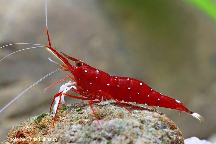 ... on Pinterest Shrimp, Tiger shrimp and Freshwater aquarium shrimp