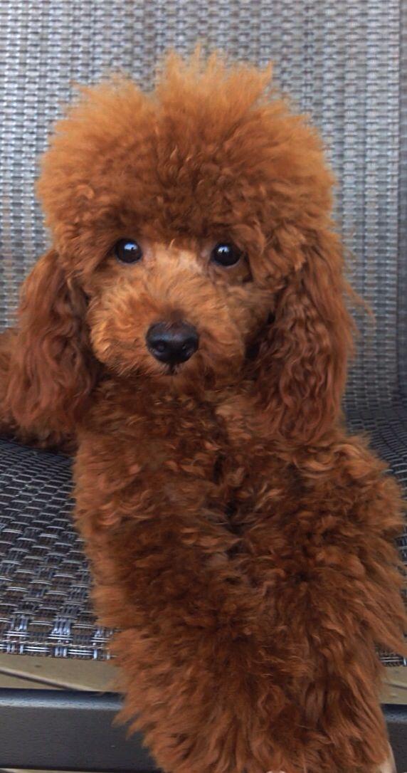 Casey @ west coast poodles