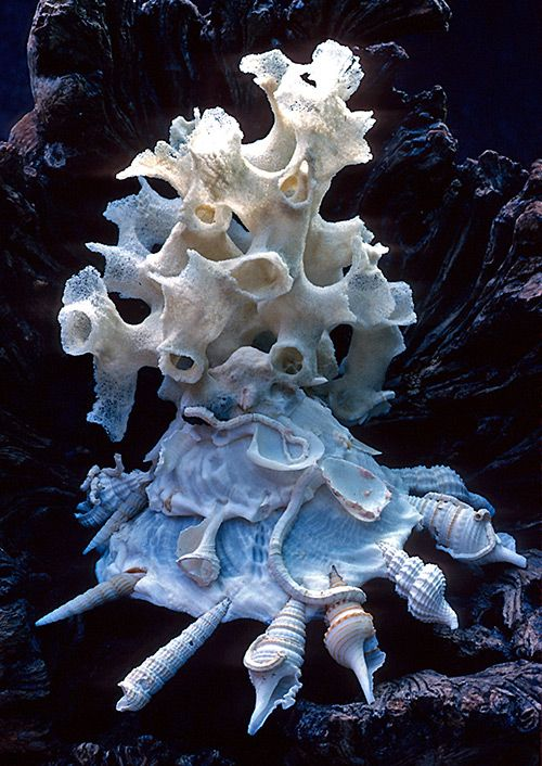 "Xenophora, a marine snail commonly known as the ""carrier shell"", attach shells, rocks, and other debris from its environment."