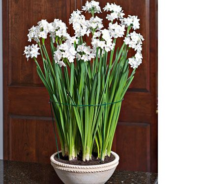 PAPERWHITE BULBS FOR INDOOR FRAGRANCE. (Pictured here: Ziva Paperwhite kit in Firenze pot)