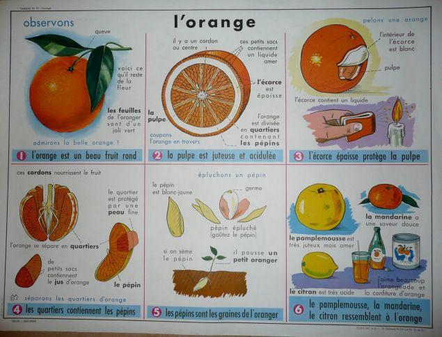Leçon de choses: l'orange   Grandir près du châtaignier