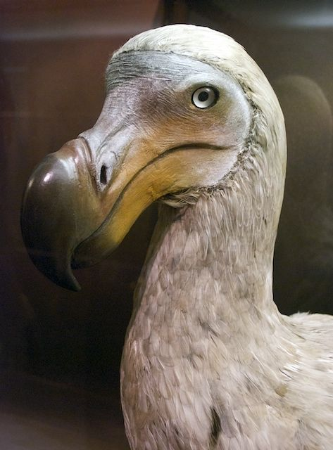 Dodo, extinct :(