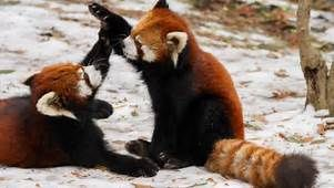 red panda - - Yahoo Image Search Results