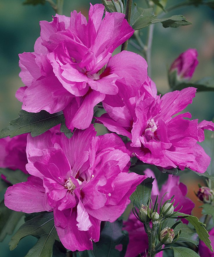Seedling & Sprout Live 'Raspberry Smoothie' Rose of Sharon ...