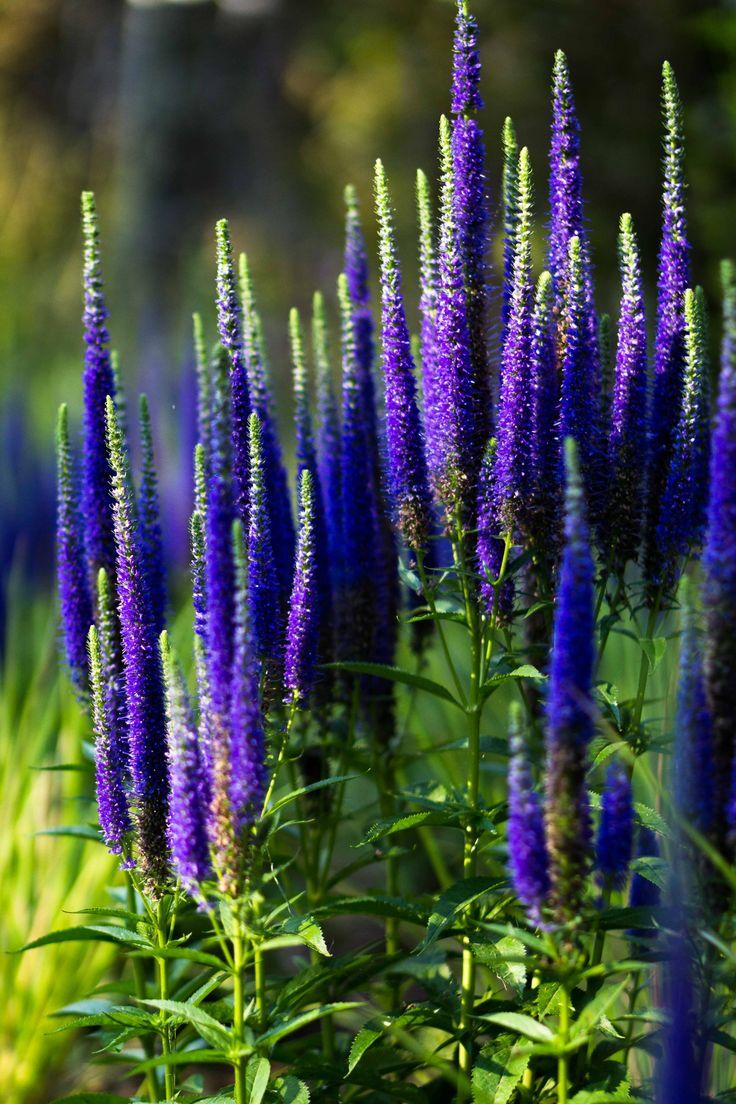 Veronica spicata Ulster Dwarf Blue in Ábaton gardens