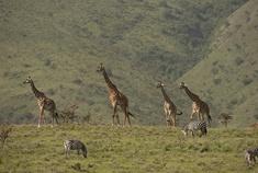Passage To Africa - Ngorongoro Highlands - Tanzania #Giraffe #Zebra