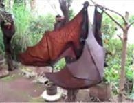 Haberin Ola!   Video Galeri - Dev Yarasalar - Görüntüleriyle korkutan dev yarasalar.