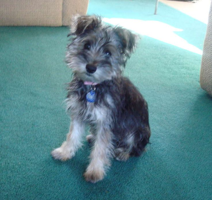 Snorkie.    Miniature Schnauzer / Yorkie Hybrid Dogs