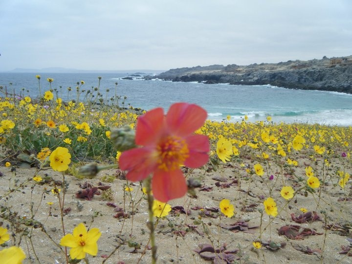 Desierto florido- Copiapó, Chile