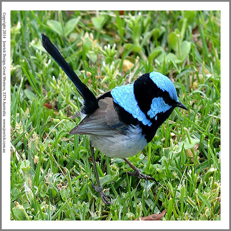 A gorgeous male Blue Wren I've photographed and printed on 100% cotton for quilters to quilt with.