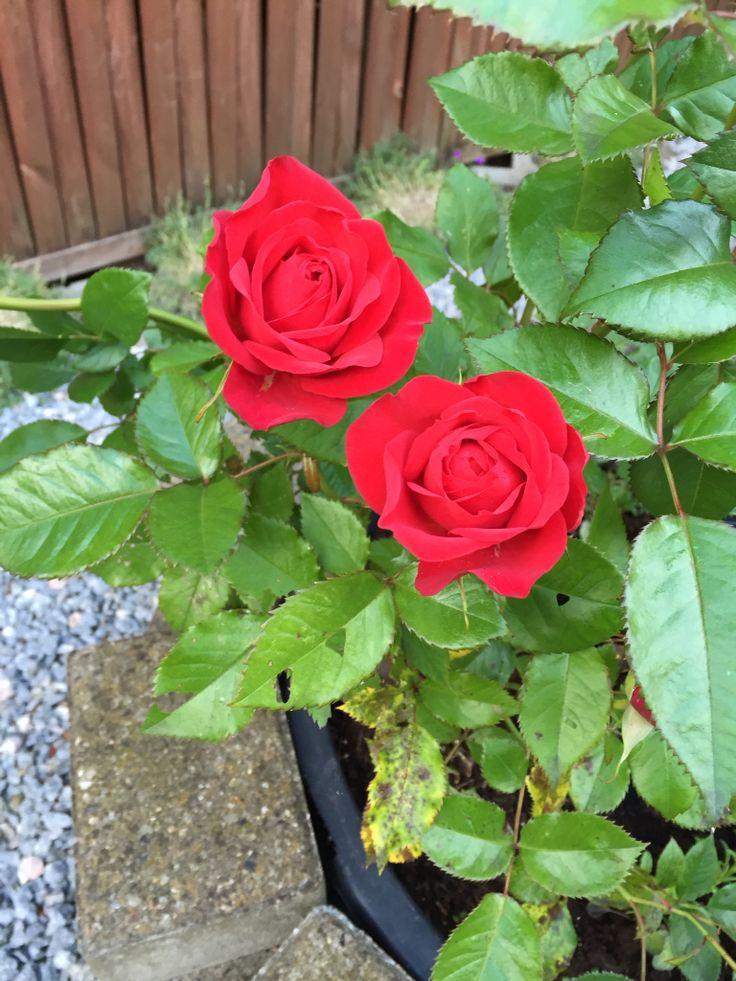 Dejlige røde roser