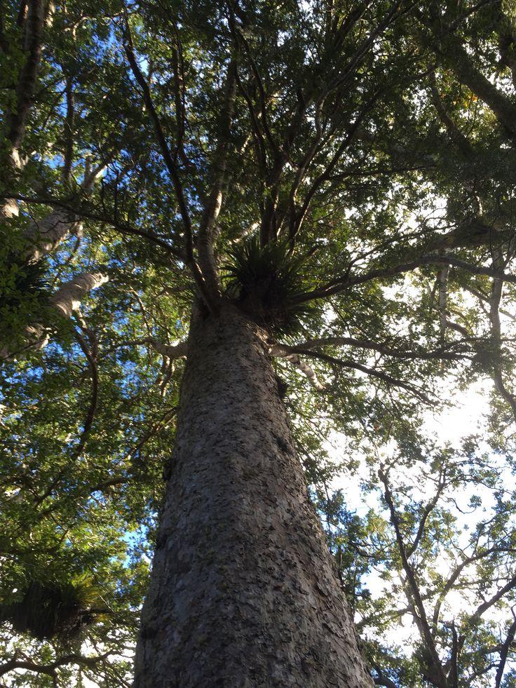Kauri tree, Coramandel, New Zealand