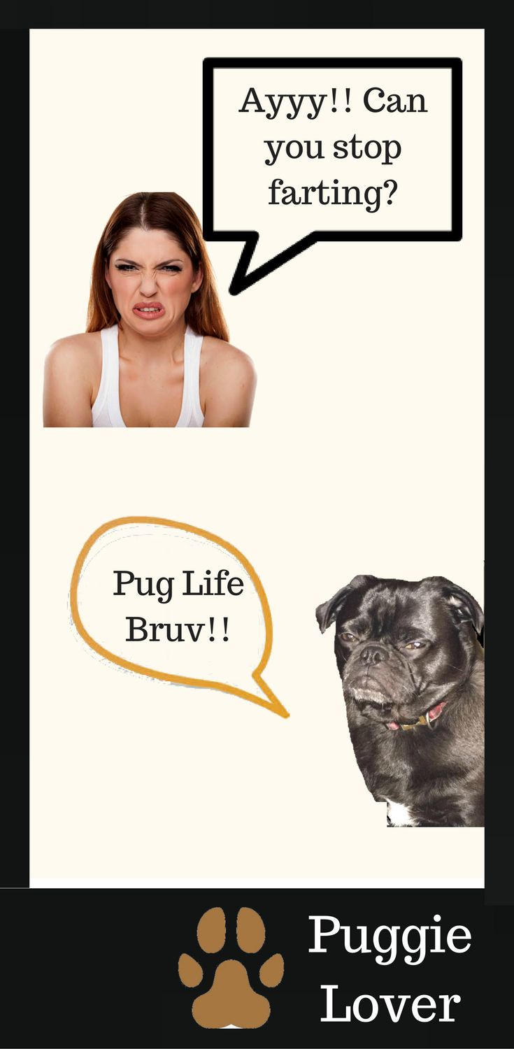 If you have a pug you probably know about the Pug fart and how that could be a pug meme among pug lovers. |Pugs meme|