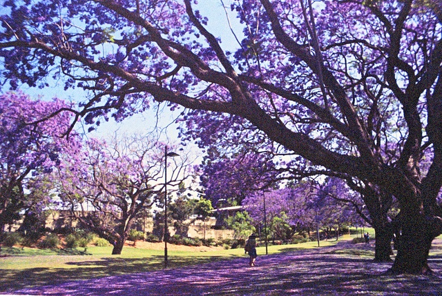 Fun fact. Jacaranda Tree usually blooms around the exam time in semester two. There is a myth that if a petal falls on you, you will fail the exam. That is just a myth though, fail or not depends on how much work you do!