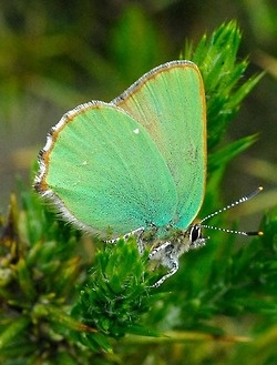 .Green Collection, Beautiful Butterflies, Green Hairstreak, Dragonflies Butterflies, Green Butterflies, Insects, Animalssm Wings, Shades Of Green, Moth