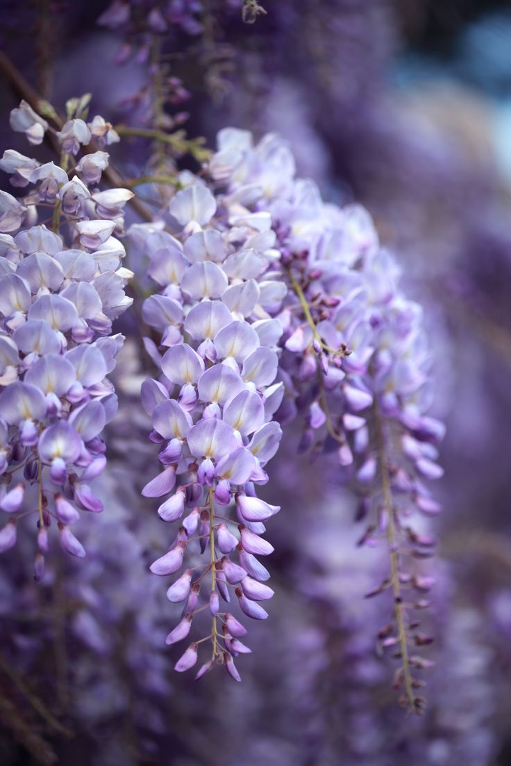 Wisteria - GoodHousekeeping.com