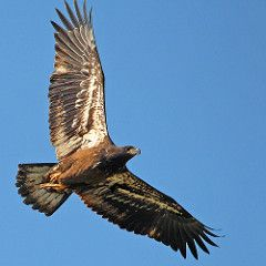 Immature bald eagle 2