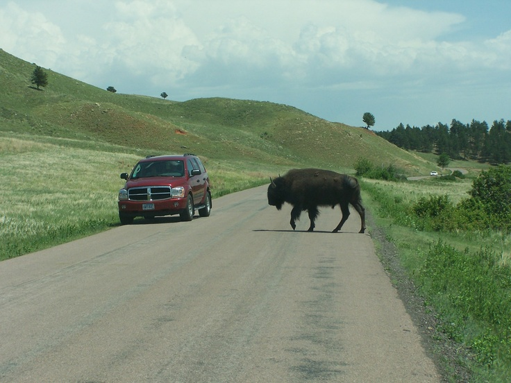Why did the Buffalo bull cross the road?  Because he can do anything he wants to do.Photos, The Roads, State Parks, Bull Crosses, Buffalo Bull, Buffalo 66, South Dakota, Custer States Parks, Animal