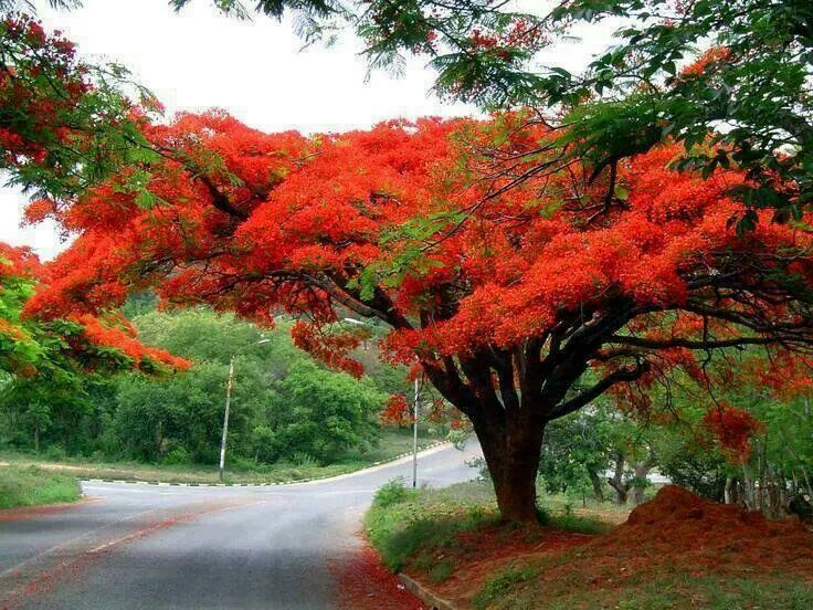 Arbol de fuego este bello arbol inspiro la hermosa for Arbol de fuego jardin