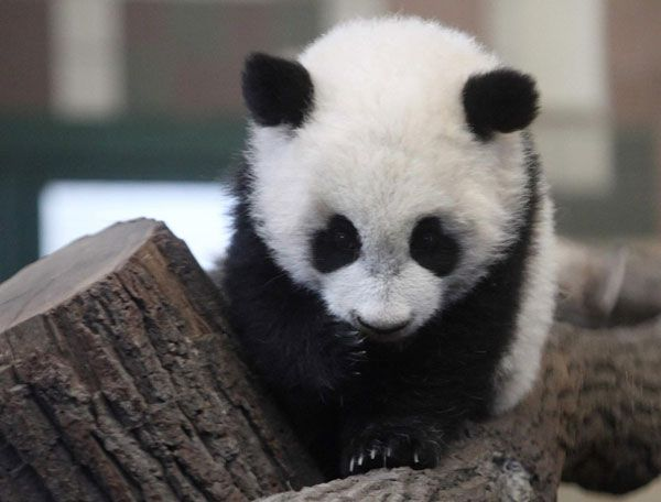 panda cub | Five-month-old giant panda cub Fu Hu (meaning lucky tiger) climbs on a ...