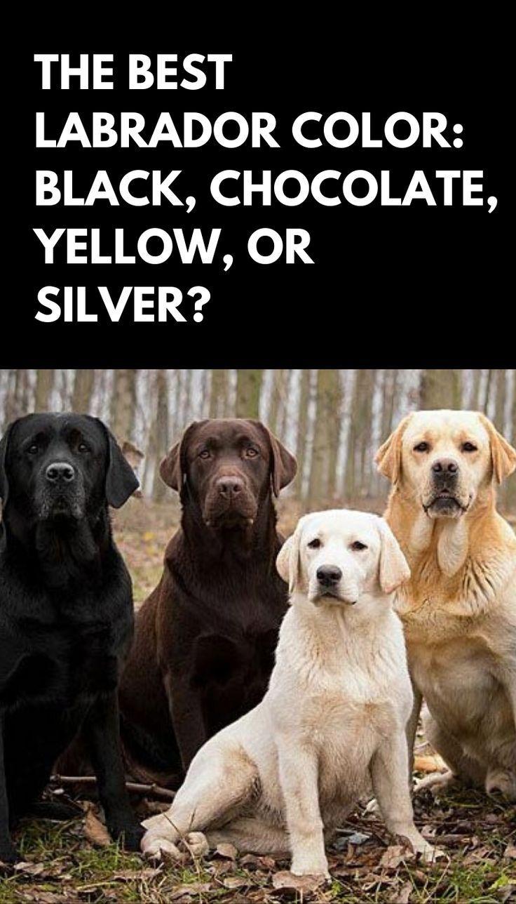 The Best Labrador Color Black Chocolate Yellow Or Silver In 2020 Labrador Black Labrador Puppy Labrador Retriever