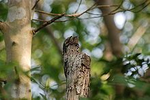 Common potoo.(aka grey potoo, lesser potoo or poor-me-one) Nyctibius griseus. It is well-camouflaged on a broken branch. It is a nocturnal bird of tropical Central & South America and is related to the nightjars & frogmouths. and camouflaged to look like a log.