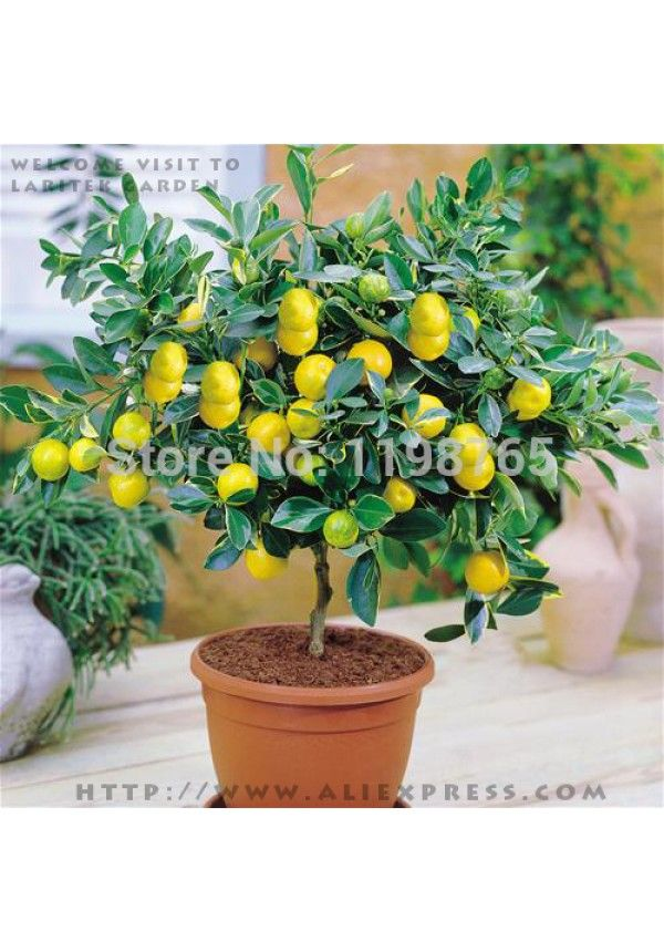 más de 25 ideas únicas sobre arbol de limon en pinterest