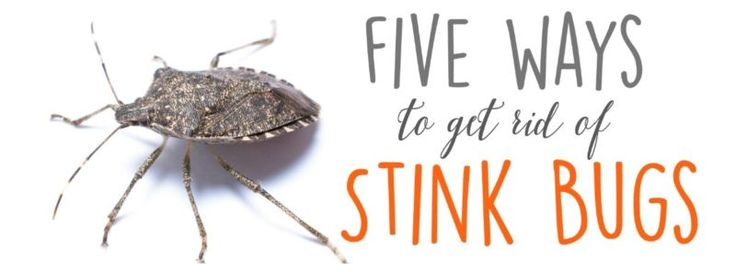 best 25 stink bug smell ideas on pinterest stink bug repellent funny insults and killing wasps. Black Bedroom Furniture Sets. Home Design Ideas