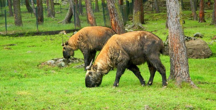 A pair of Takin, the Bhutanese national animal