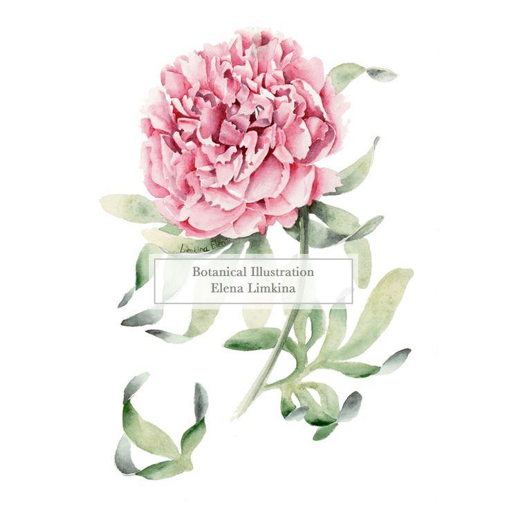 Watercolor Botanical Illustration by Elena Limkina. Rose www.limkina.com