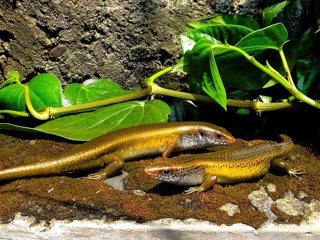 The #lizard Battle #animal #reptilia