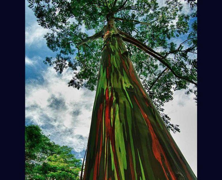 Eucalipto De Arco Iris  Este multicolor árbol posee una variedad de tonalidades parecidas a un arcoíris, porque su corteza se rompe en diferentes momentos, permitiendo así que el árbol envejezca de color diferente.